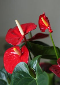 Bright Red Flamingo Lily close up- Who Who Carpet Cleaning and Pest Management