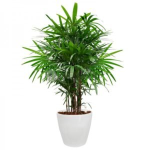 Medium Sized Green plant, Palm Tree in a white pot
