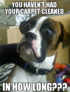 boxer shocked by when the carpet was last cleaned, carpet cleaning brisbane meme