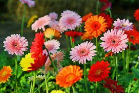 Barberton Daisy's in Yellow, Orange, Pink and Red in a field- Who Who Carpet Cleaning and Pest Management