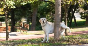 Golden Labrador peeing on a tree - Remove pet odour from home - Who Who Carpet Cleaning