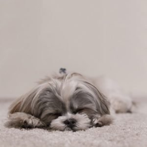 Grey and white poodle sleeping on white carpets