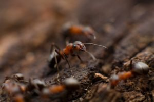 Pest Management and Control Brisbane red ants closeup on brown sand