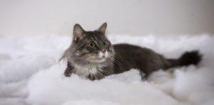 Grey Cat sitting on white blanket