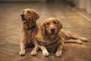 two golden retrievers sitting, image used for blog by who who carpet cleaning- cat and dog urine removal ; urine treatment brisbane