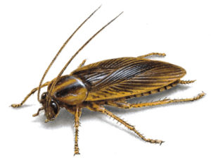 German cockroach image. Pest Control brisbane