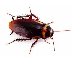 AUstralian Cockroach - Pest Control Brisbane