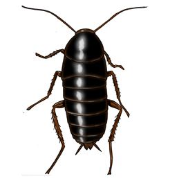 Black oriental cockroach- Pest control brisbane