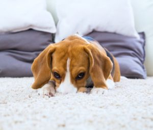 Dog looking sad with nose dig into carpets - Pet and Children Urine Treatment Brisbane